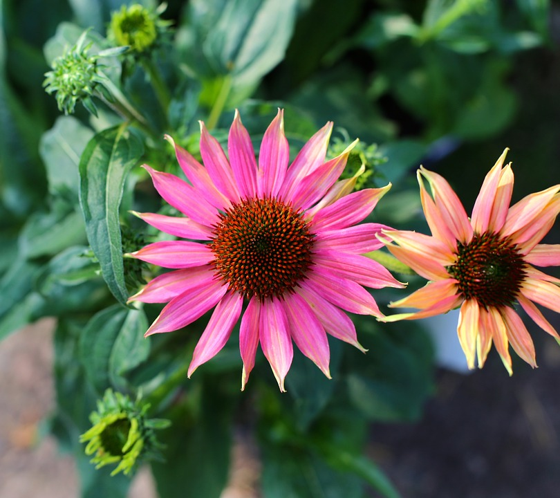 Low Maintenance Plants Sun Grand Rapids Coneflower