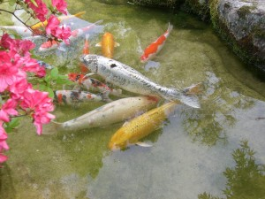 Koi Fish For Your Kalamazoo Pond