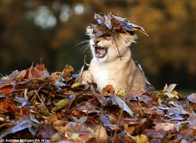 Lion In Leaves