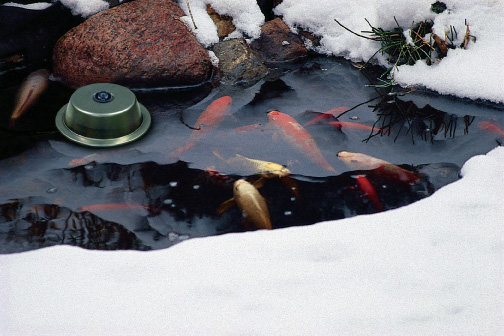 Koi Pond Winter Maintenance