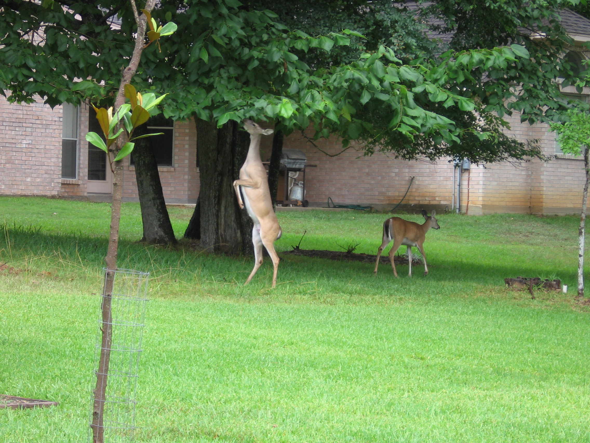 Deer Eating Tree