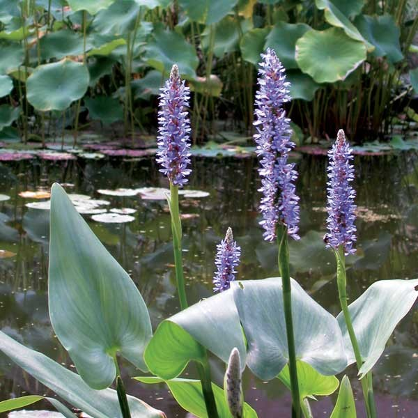 Pond Plants for Spring