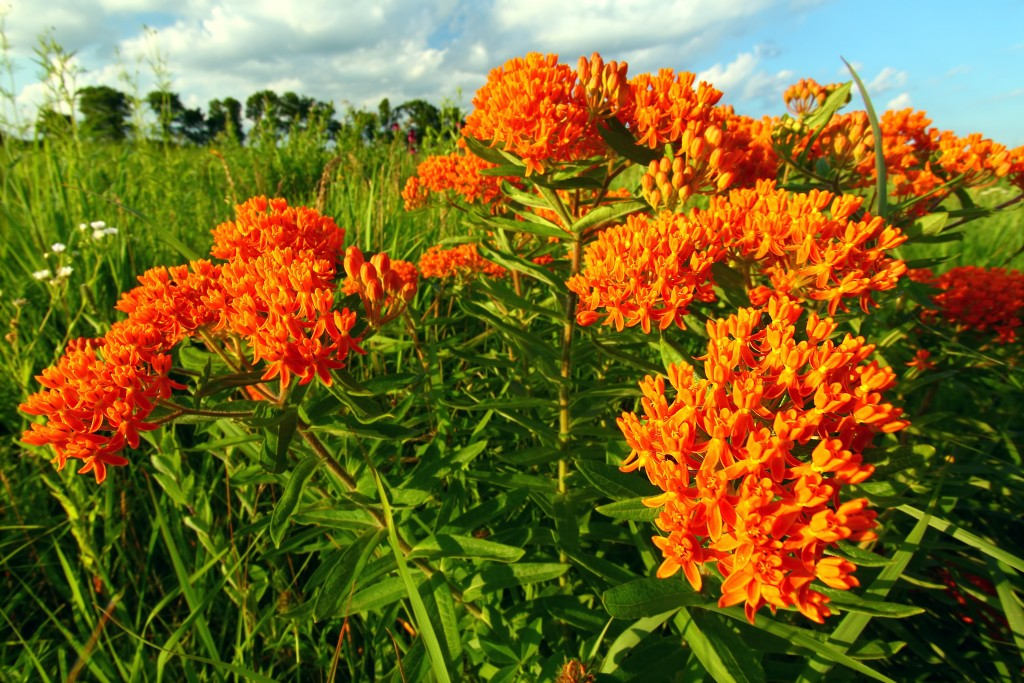 Native Michigan Plants - Butterfly Milkweed