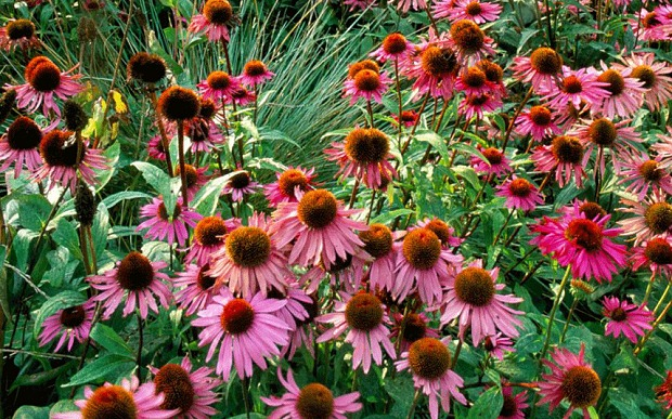 Native Michigan Plants - Coneflower 'Crazy Pink'