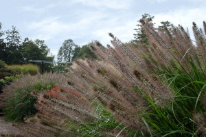 Low Maintenance Grass Kalamazoo Pennisetum