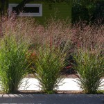 Low Maintenance Grass Kalamazoo Panicum