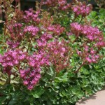 Low Maintenance Plants Sun Kalamazoo Sedum