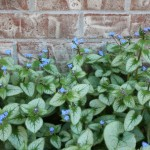 Low Maintenance Shade Plants Kalamazoo Brunnera