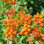 Low Maintenance Plants Sun Kalamazoo Butterfly Milkweed