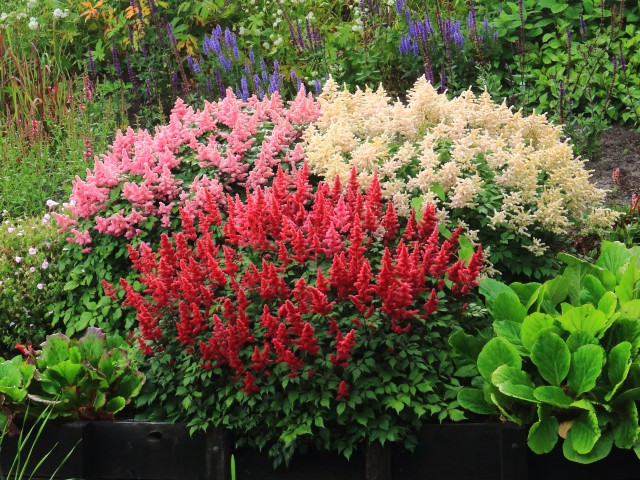 Low Maintenance Shade Plants Kalamazoo Astilbe