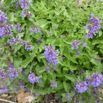 Low Maintenance Plants Sun Grand Rapids Nepeta