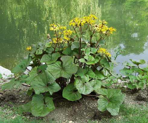 Low Maintenance Shade Plants Kalamazoo Ligularia