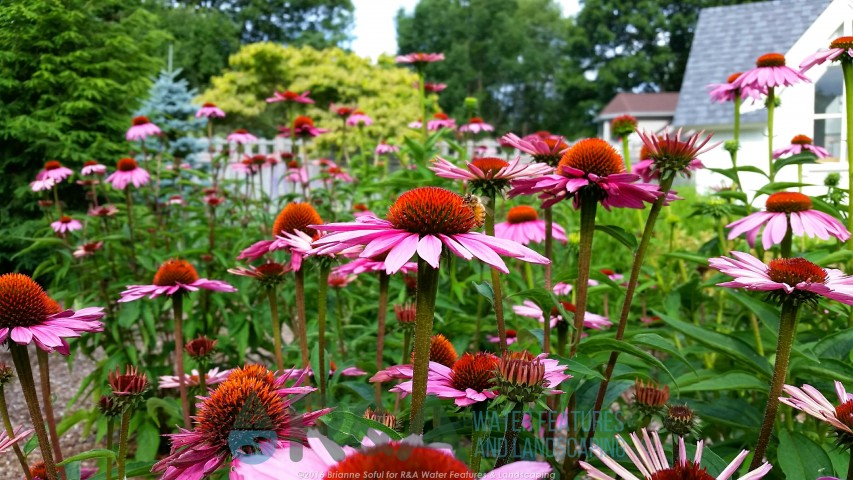 Native Plants Michigan Coneflower