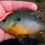 Sunfish for Your Kalamazoo Pond