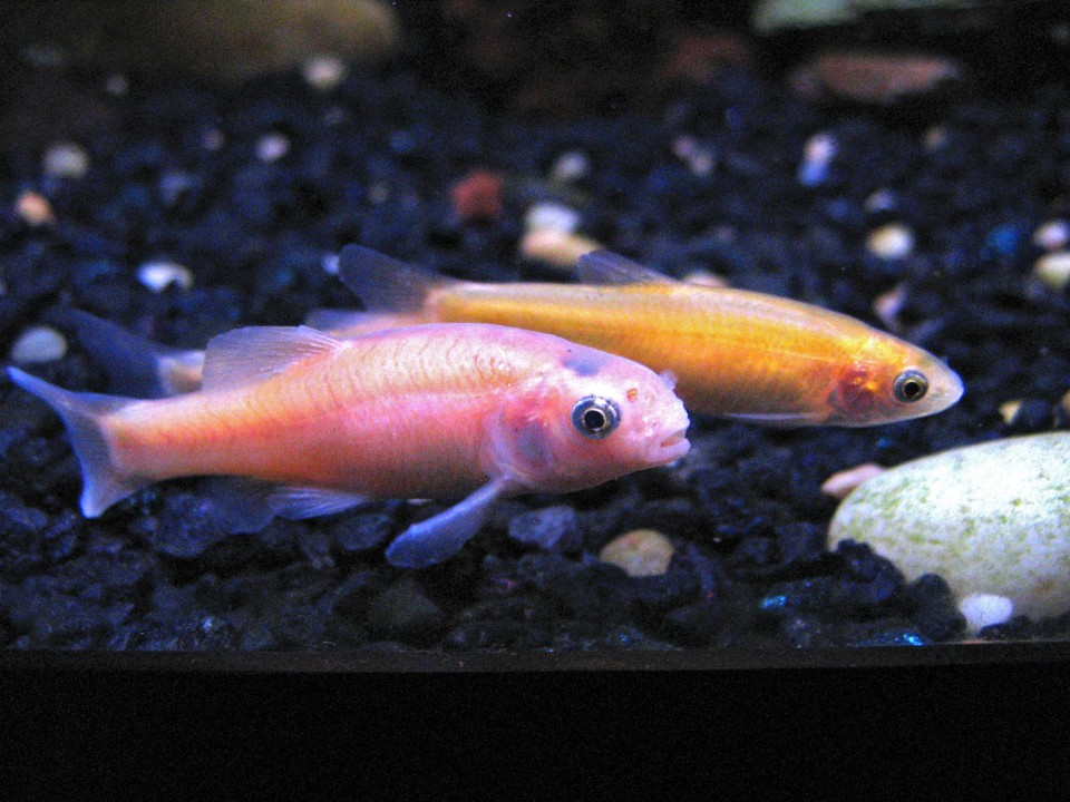 Rosy Red Minnow For Your Kalamazoo Pond