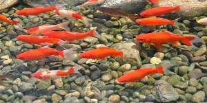Type of Fish for Pond Grand Rapids Doctor Fish