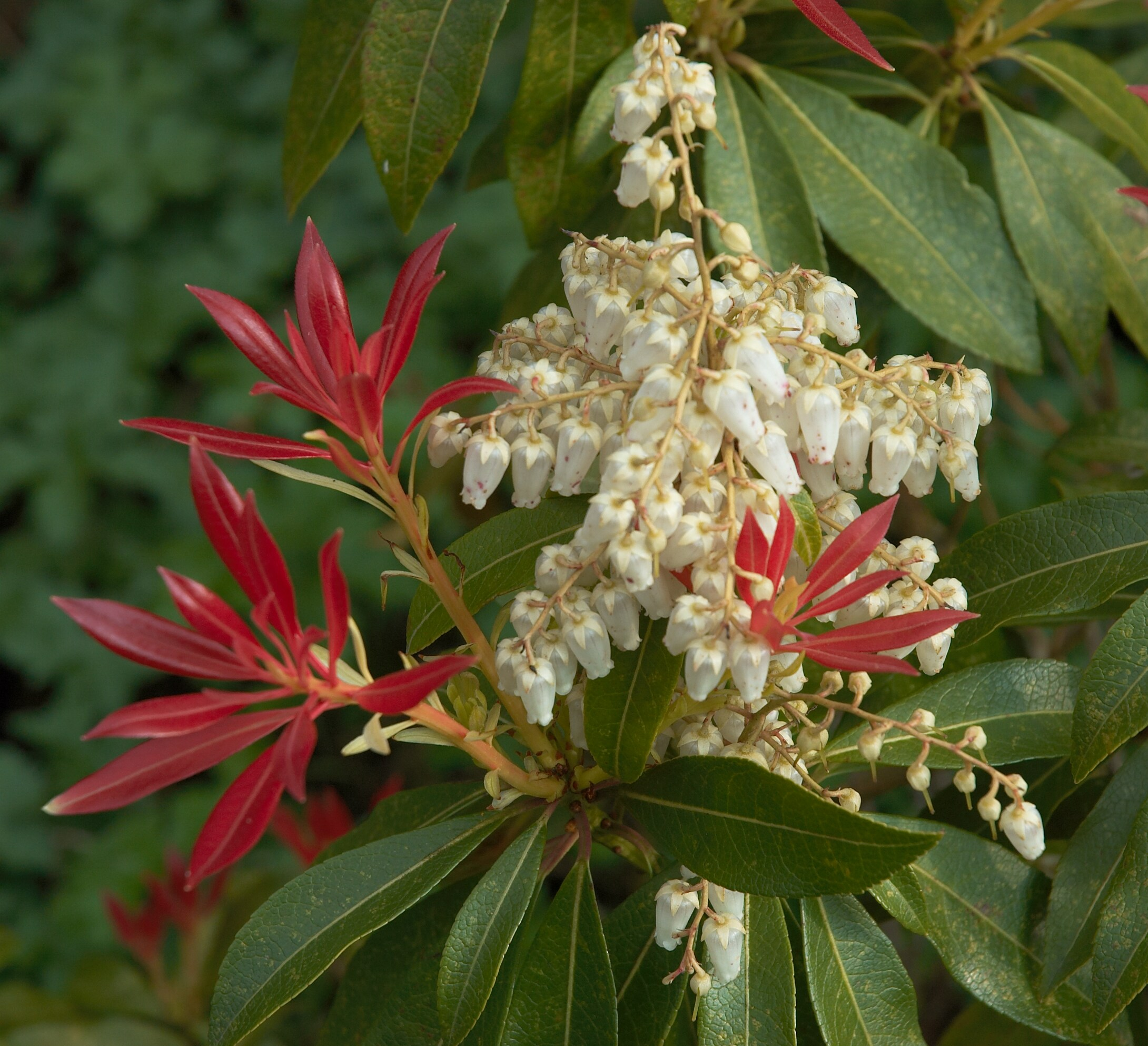 Deer resistant plants and shrubs pieris kalamazoo grand rapids michigan