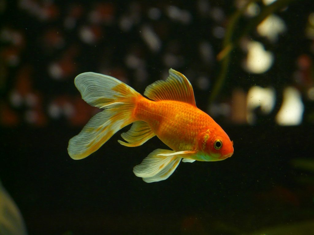 happy and healthy goldfish in pond