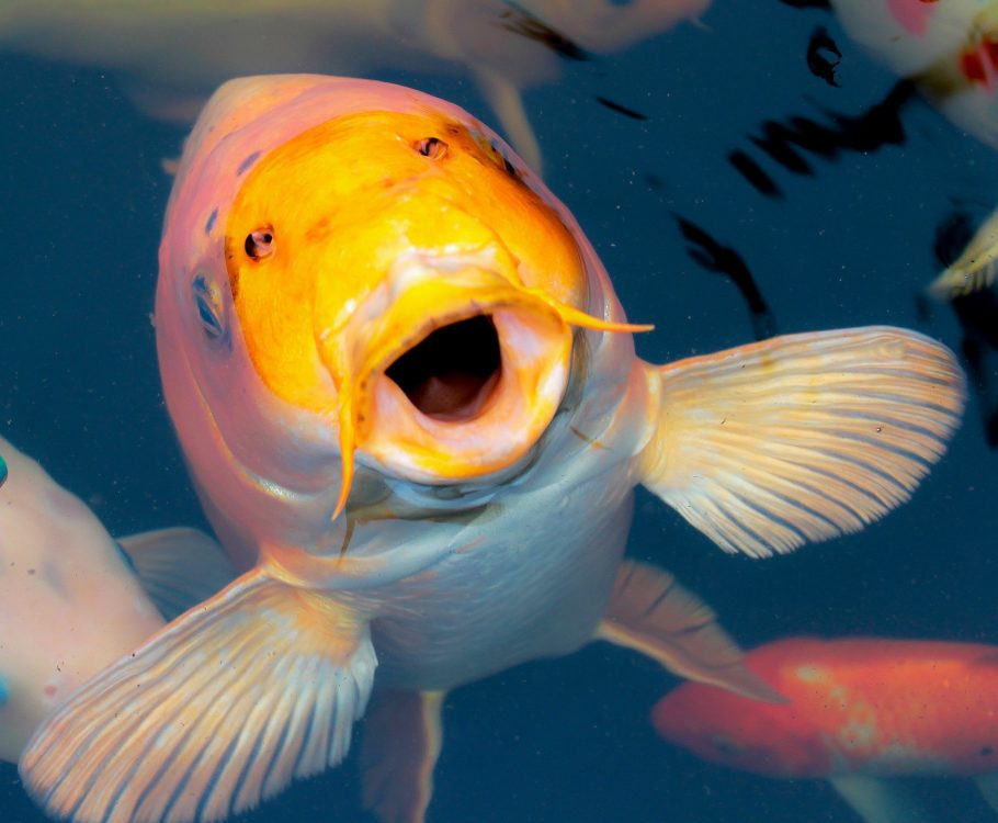 happy koi fish for backyard water feature